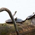 One Hiding Turtle by Linda Kerkau