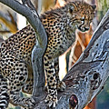 One Little Cheetah Sitting In A Tree by Miroslava Jurcik