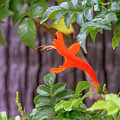 One Lone Flower Remains On The Cape Honeysuckle by Debra Martz