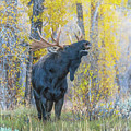 One Proud Bull Moose by Yeates Photography