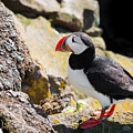 One Puffin In Iceland by Matthias Hauser