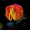One Rose by Galeria Trompiz