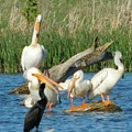 One Sassy Pelican And Friends, West Central Minnesota by Curtis Tilleraas