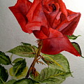 One Single Red Rose by Carol Grimes