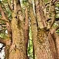 One Tree Six Trunks by Lisa Wooten