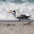 One Upset Royal Tern by Bonnie Anderson