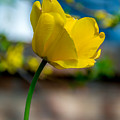 One Yellow Tulip by Guy Whiteley