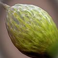 Onion Flower Macro by Robert Storost