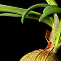 Onion Sprouting by  Onyonet  Photo Studios