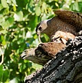 Cooper's Hawks Mating by Dennis Boyd