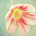 Open Bi-coloured Tulip by Elaine MacKenzie
