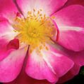Open Pink Rose by Jean Noren
