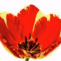 Open Tulip by Jean Noren