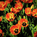 Open Wide - Tulips On Display by Tom Mc Nemar