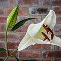 Opening White Lily by David Head