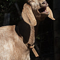 Operatic Goat by Grant Groberg