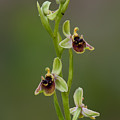Ophrys Bornmuelleri by Yuri Peress