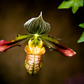 Oprah's Orchid by Trish Tritz
