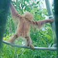 Oranautan Baby Sd Zoo 2015 2 by Phyllis Spoor