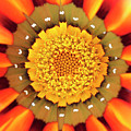 Orange African Daisy by Neil Overy