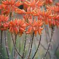 Orange Aloe  by Saija Lehtonen
