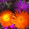 Orange And Fuchsia Color Flowers by Sofia Metal Queen