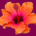 Orange And Pink Hibiscus by Pamela Walton
