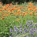 Orange And Purple Dream Flowers by Carol Groenen