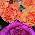 Orange And White With Pink Tip Roses by Jennifer Wick