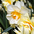 Orange And Yellow Double Daffodil by Louise Heusinkveld