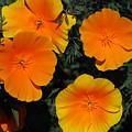 Orange And Yellow Flowers by Carol  Eliassen