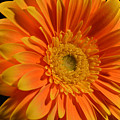 Orange And Yellow Tip Gerbera Daisy by Peterson Photography