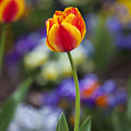 Orange And Yellow Tulip by Amy Jackson