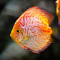 Orange Aquarium Fish In Zoo by Arletta Cwalina