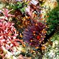 Orange Ball Corallimorph Anemone by Amy McDaniel