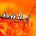 Orange Beetle On Orange Flower by Reva Steenbergen