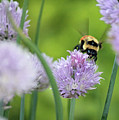 Orange-belted Bumblebee On Chive Blossoms by Codee Pyke