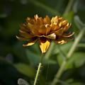 Orange Blanket Flower by Teresa Mucha