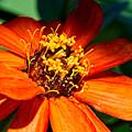 Orange Bloom by Christopher Holmes