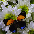 Orange Blue Butterfly On Poms by Garry Gay