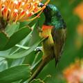 Orange-breasted Sunbird Feeding On Protea Blossom by Bruce J Robinson