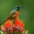 Orange-breasted Sunbird On Protea Blossom by Bruce J Robinson