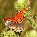 Orange Butterfly by Bob Phillips