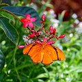 Orange Butterfly by Denise Mazzocco