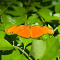 Orange Butterfly by Douglas Barnett