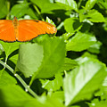 Orange Butterfly On Foliage by Douglas Barnett