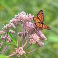Orange Butterfly by Robert Pearson