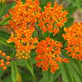 Orange Butterfly Weed From Above by Anna Lisa Yoder