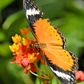 Orange Butterfly by Wendy Fox