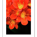 Orange Clivia Poster by Mike Nellums